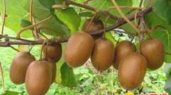 猕猴桃全套栽培技术