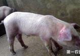 农业农村部:加大财政支持力度,不能盲目禁养限养