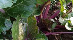 汝州市幸运种植合作社特色蔬菜系列(三)