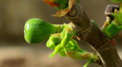 无花果服盆后的养护,注意几点,长得快而且结的果实又大又多
