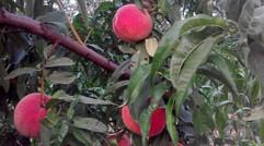 运城红不软桃子