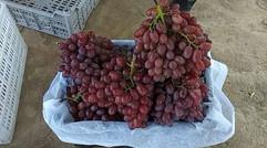 优质克伦生葡萄