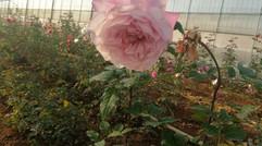 很好玫瑰产业