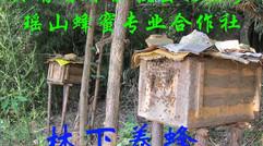 林下养蜂,避免阳光照射
