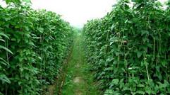 凤英蔬菜种植