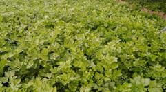 大棚芹菜种植