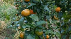 橘子的种植