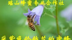 蜜  蜂  采 花