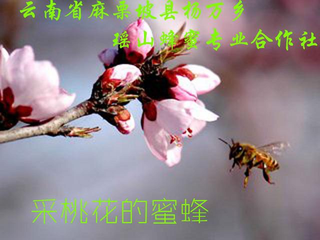 采桃花的蜜蜂1.jpg