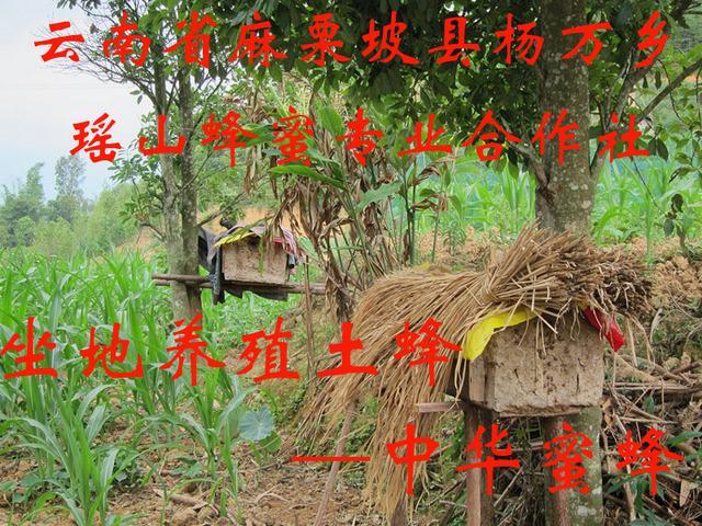 坐地养殖土蜂—中华蜜蜂.jpg