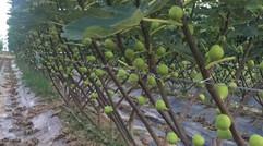 无花果种植技术