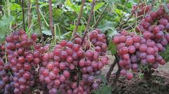 合作社葡萄种植