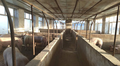 生猪养殖环境