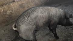 生态养殖——黑猪
