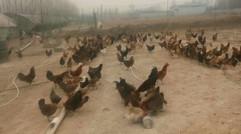 散养   土鸡