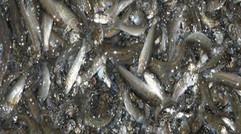 养殖淡水鱼