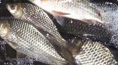 新鲜的淡水鱼