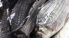 家庭农场养殖鱼