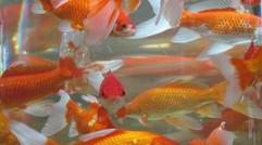 养殖  金鱼