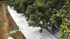 果园也用农夫一品防草布