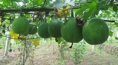 浒山农业种植的瓜蒌