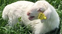 浒山农业喂养的湖羊