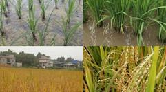 无公害,绿色、有机、富硒水稻。