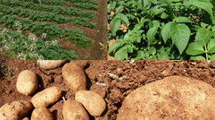 无公害,绿色、有机、富硒土豆,红薯。