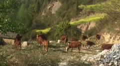 合作社农家散养牛