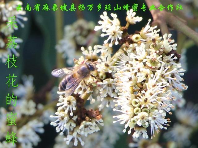 采荔枝花的蜜蜂14.jpg