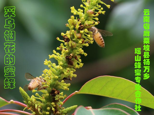 采乌桕花的蜜蜂22.jpg