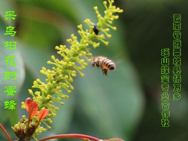 采乌桕花的蜜蜂23.jpg
