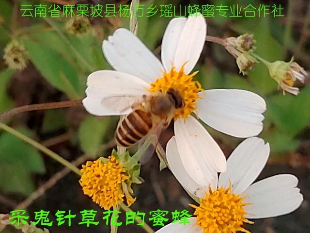 采鬼针草花的蜜蜂25.jpg