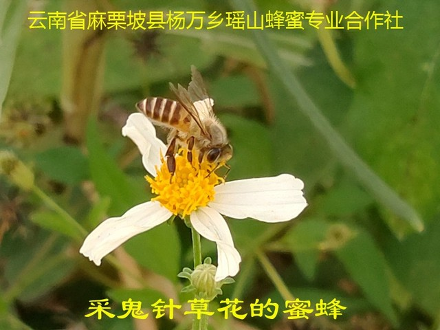 采鬼针草花的蜜蜂5.jpg