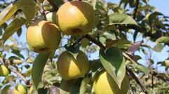 礼县特产——八盘梨
