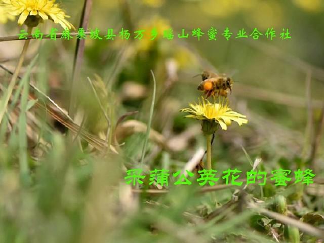 采蒲公英花的蜜蜂14.jpg