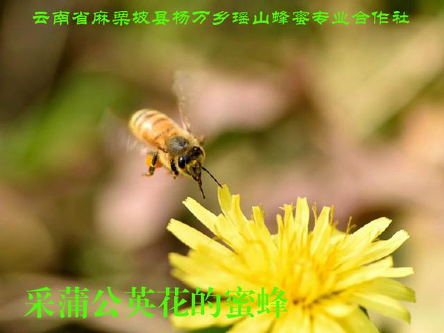 采蒲公英花的蜜蜂15.jpg