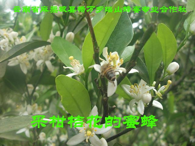 采柑桔花的蜜蜂1.jpg