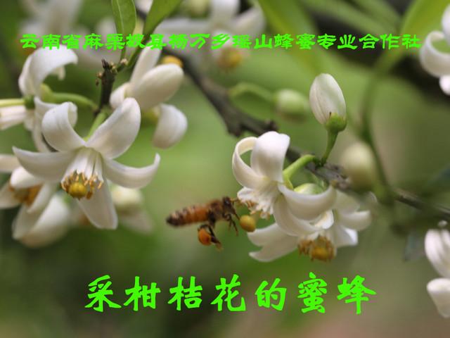 采柑桔花的蜜蜂2.jpg