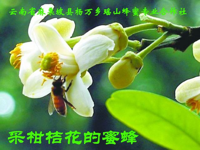 采柑桔花的蜜蜂3.jpg