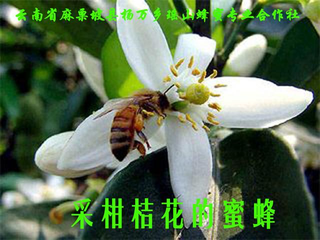 采柑桔花的蜜蜂6.jpg