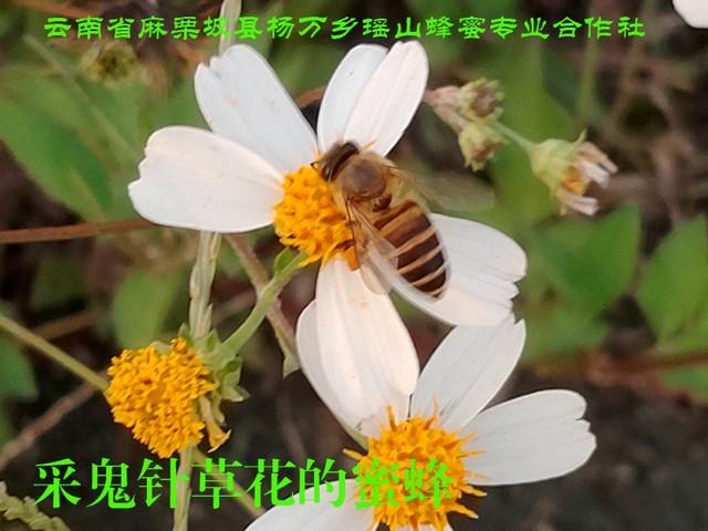 采鬼针草花的蜜蜂26.jpg