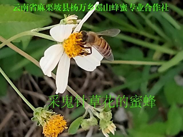 采鬼针草花的蜜蜂27.jpg