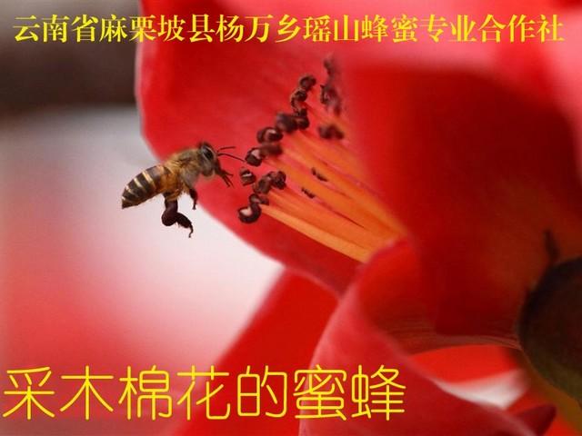 采木棉花的蜜蜂1.jpg