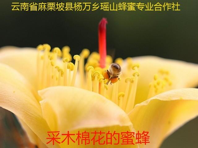 采木棉花的蜜蜂4.jpg