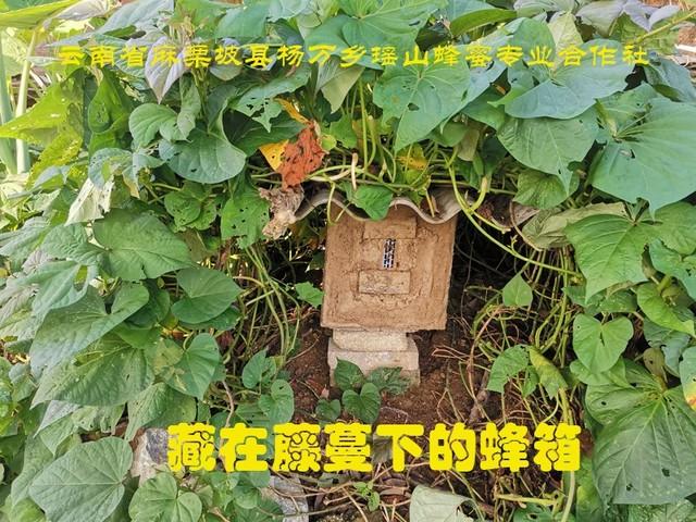 藏在藤蔓下的蜂箱.jpg