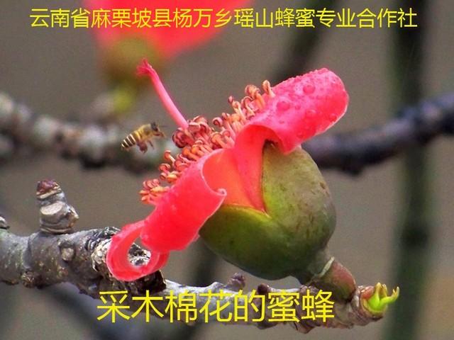 采木棉花的蜜蜂5.jpg