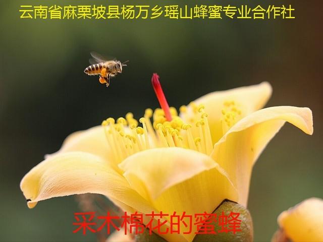 采木棉花的蜜蜂6.jpg