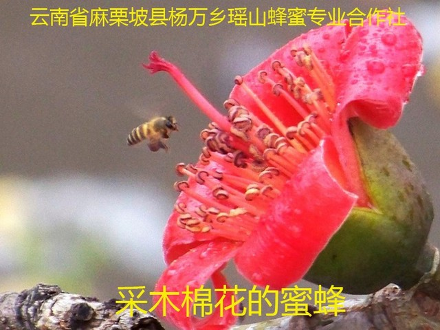 采木棉花的蜜蜂7.jpg