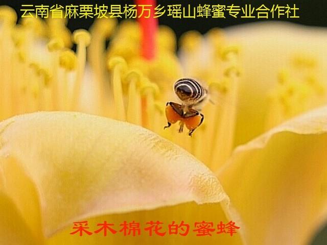 采木棉花的蜜蜂8.jpg